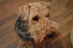 Chien  - Welsh Terrier  (Vient de naître)