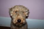 Chien Cardiff - Welsh Terrier Mâle (Vient de naître)