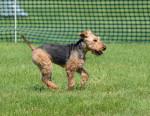 Photo Welsh Terrier