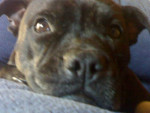 coca - Staffordshire bull terrier (3 ans)