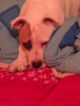 Pebbles - Staffordshire bull terrier (6 ans)