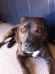 Bruno - Staffordshire bull terrier Mâle (5 ans)