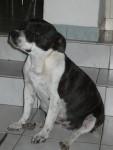 Missy - Staffordshire bull terrier (2 ans)