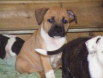 Haka - Staffordshire bull terrier (7 mois)