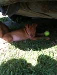 BuckaRoo - Staffordshire bull terrier Mâle (10 mois)