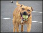 Gucci - Staffordshire bull terrier Mâle (1 an)