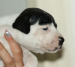 Horiginal - Staffordshire bull terrier (9 mois)