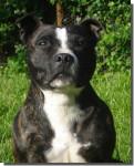 Kiss - Staffordshire bull terrier