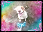 Chien Gypsi - Staffordshire bull terrier Femelle (1 an)