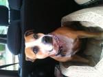 JD - Staffordshire bull terrier (6 ans)