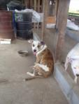 Chien Scoob et Spyke - Staffordshire bull terrier Mâle (1 an)