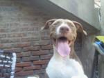 zaira - Staffordshire bull terrier (7 mois)