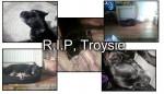 Troysie - Staffordshire bull terrier Mâle (12 ans)