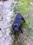 furia - Staffordshire bull terrier (9 mois)