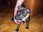 Chien Keyna chiot staffordshire bull terrier - Staffordshire bull terrier  (Vient de naître)