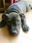furia - Staffordshire bull terrier (4 mois)