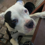 Chien Emma - Staffordshire bull terrier Femelle (1 an)