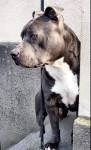 Docky - Staffordshire bull terrier Mâle (3 ans)