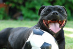 Photo Staffordshire bull terrier