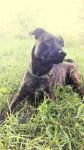 Elvi - Staffordshire bull terrier (3 ans et 3 mois)