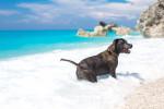 Un Staffordshire Bull Terrier se baigne dans l'océan