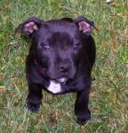Dillon - Staffordshire bull terrier Mâle (3 mois)