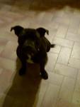 furia - Staffordshire bull terrier (2 ans)