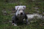 Auggie McLovin - Staffordshire bull terrier Mâle (8 mois)