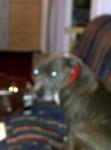 bruce - Staffordshire bull terrier Mâle