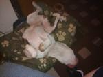 Taz - Staffordshire bull terrier Mâle (2 ans)