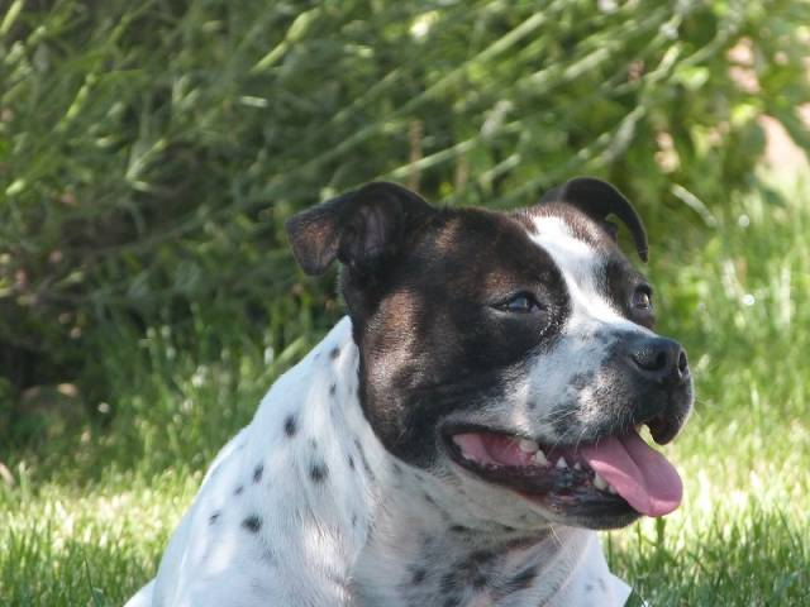 Faya - Staffordshire bull terrier (3 ans)