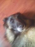 Feya - Berger belge Tervueren (5 ans)