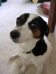 lili - Jack Russell (6 ans)