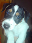 Scamp(chiots) - Jack Russell Mâle (2 mois)