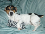 abby - Jack Russell (2 ans)