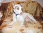 boumer - Jack Russell Mâle (3 mois)