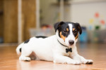 Photo Jack Russell