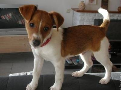 dona - Jack Russell (9 ans)