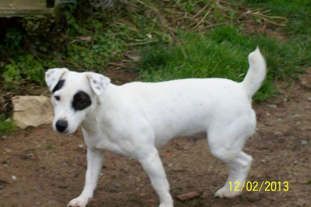 Emmy - Jack Russell (4 ans)