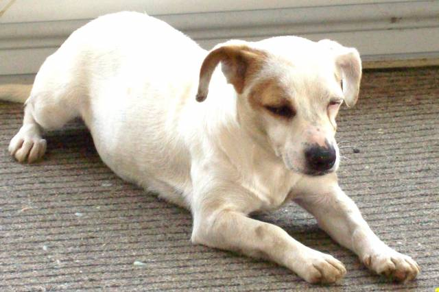 Ezia - Jack Russell (4 ans)