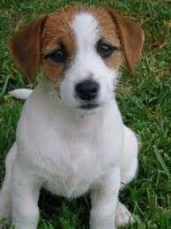 Yamnie - Jack Russell (1 an)