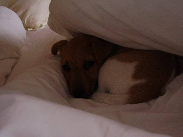 """jack russell """"lounge"""" - Jack Russell"""