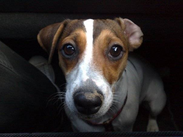 Easy gros plan jack russel 1 an - Jack Russell