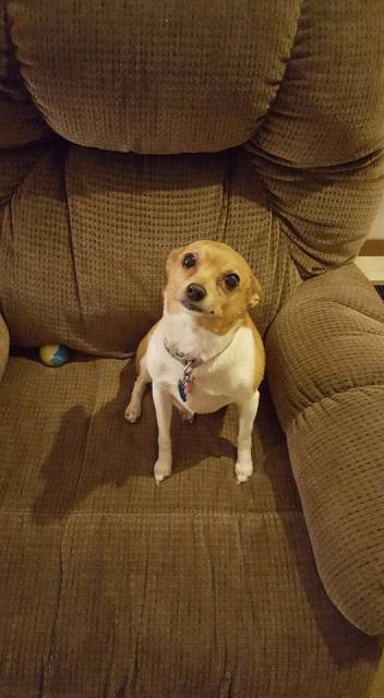 Sandy - Jack Russell (11 ans)