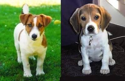 a droite lila et a gauche nougat - Jack Russell (9 mois)