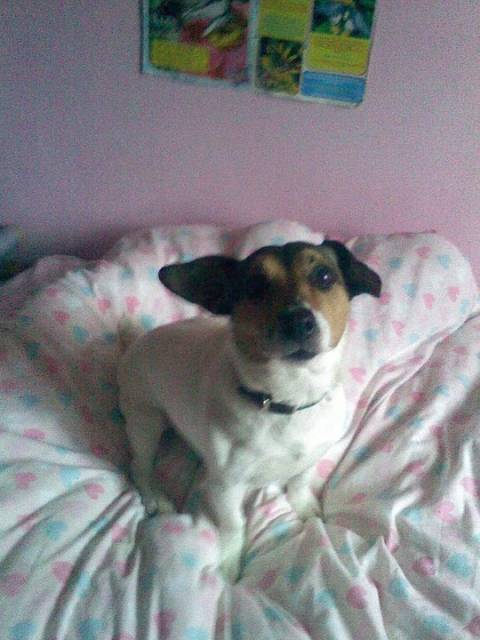 Elsack - Jack Russell (11 ans)