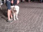 Cane di una mostra canina - Berger de la Maremme et des Abruzzes