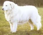 Dog - Berger de la Maremme et des Abruzzes