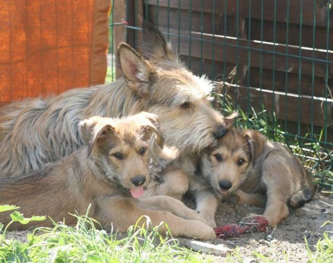 Dana de la Vallée de CreveCoeur et ses bébés - Berger picard