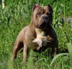 Chien Bloody-Meth\' Puzzo - Bouledogue américain  (0 mois)